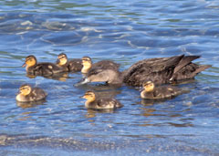 A mother and six baby ducks in the clear blue water near shore