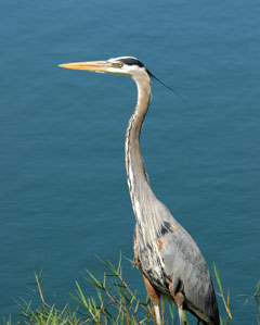 A great blue heron standing next to water