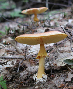 A mushroom with yellow stalk and yellow cap
