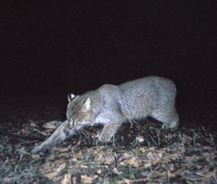 a bobcat caught covering scat