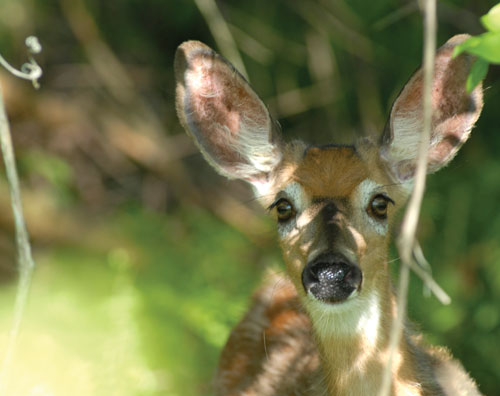A close-up of a doe's head in the woods