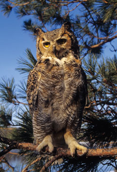 A great horned owl in the branches of a pine tree