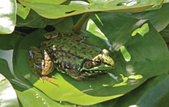 A green frog on a large leaf