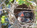 Young birds in their nest wait for food with open mouths