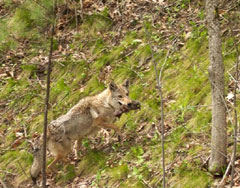 A coyote carrying her pup up a hill