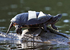 A turtle shedding its scutes.