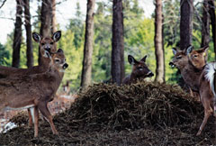 Five deer gathered around a pile of hay