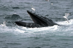 humpback whale as it begins to breach