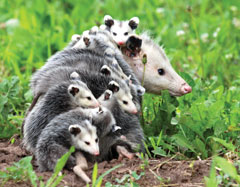 Mother opposum with many baby opposums on her back.