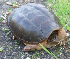 A snapping turtle with a very clean shell, on the ground