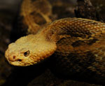 The head and part of the body of a timber rattlesnake