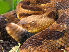 A coiled rattlesnake showing the head and rattle