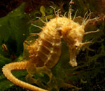A yellow seahorse underwater in some sea weed