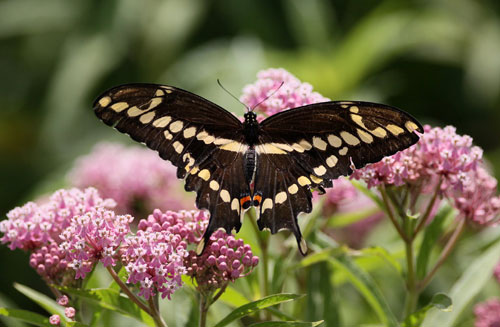 A giant swallowtail butterfly in some pink flowers
