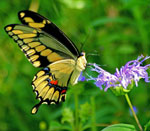 A swallowtail butterfly perched on a purple flower