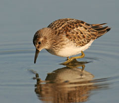 A least sandpiper stands in very shallow water looking at its reflection