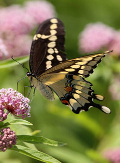 A giant swallowtail butterfly perched on a pink flower