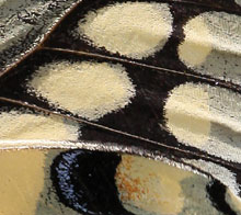 Close-up or a portion of a butterfly wing