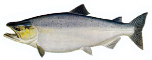 A color illustration of a salmon