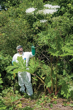 A man in a protective suit and gloves stands next to a giant hogweed plant that is in flower