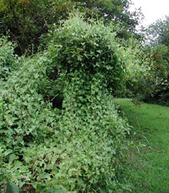An invasive vine