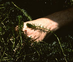 A hand near some hydrilla
