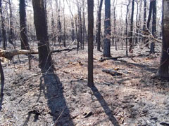 A recently burned forest in the Pine Barrens