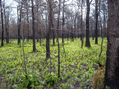 A pine forest begins to regenerate after a burn