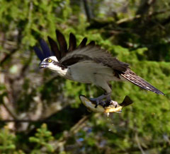 An osprey flying with a brown trout in its talons