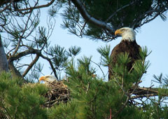 Two mature bald eagles in a nest in a pine tree