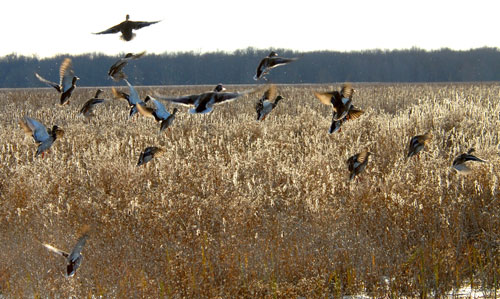 A large group of ducks take off from a wetland