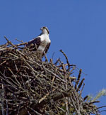 An osprey looks out from its nest of twigs