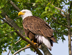 A mature bald eagle perched in a tree