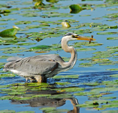 A great blue heron wading in the water