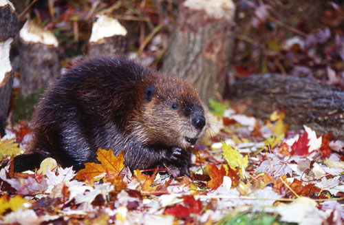 A beaver sitting in some leaves