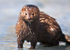 A wet mink stands in shallow water