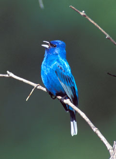 A bright blue indigo bunting on a twig