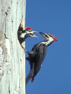 An adult pileated woodpecker feeds its young