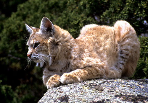 A bobcat sitting on a boulder
