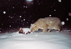 A bob cat feeds on a dead animal in the snow in winter