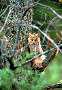 A young bobcat on a tree limb
