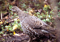 A spruce grouse in the forest
