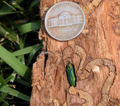 An emerald ash borer next to a nickle on a piece of wood