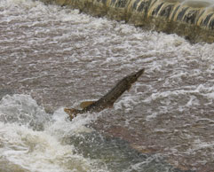 A northern pike jumping out of the water