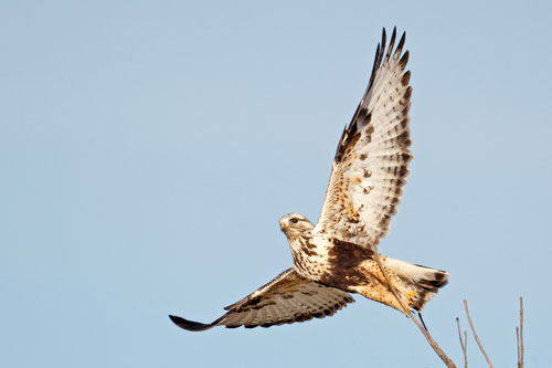 A rough-legged hawk takes off from the tip of a branch