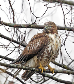 A red-tailed hawk sitting in a tree