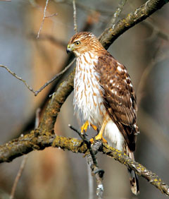 A Cooper's hawk perched on a tree branch