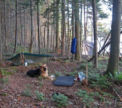 A dog sits at the tent campsite in the woods