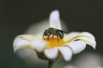 A photo of a sweat bee on a flower