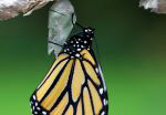 A photo of a monarch butterfly newly emerged from a chrysalis